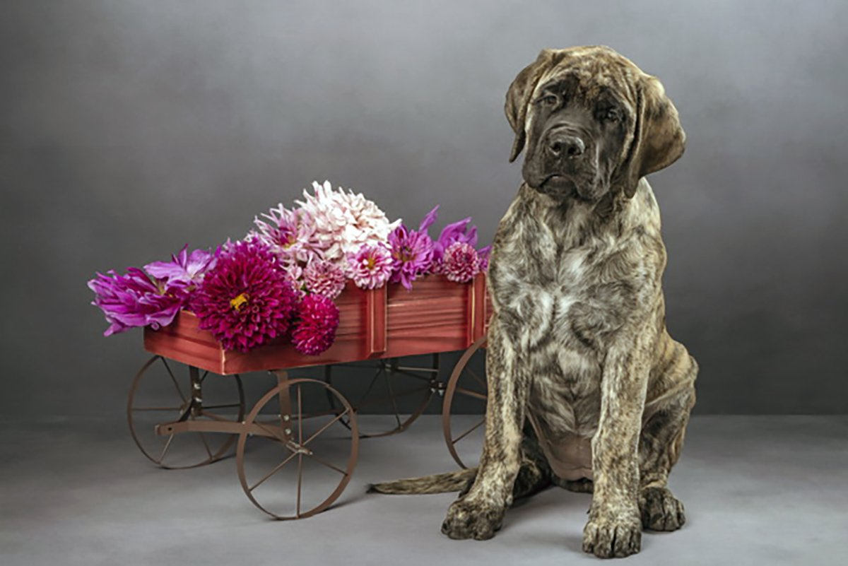 Barbie FiorentinoSassenach Mastiffs